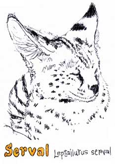 Sketch of a Serval at a rehab center...
