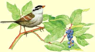 White-crowned Sparrow in Salal