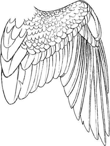 Bird Wing   Eagle Wing Drawing